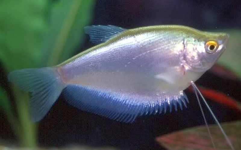 Trichogaster microlepiso gourami moonlight