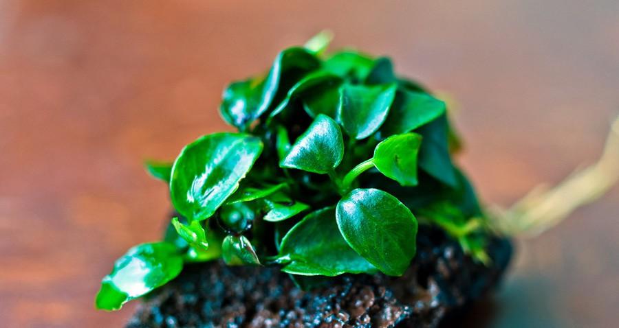 Plantar anubias y no morir en el intento