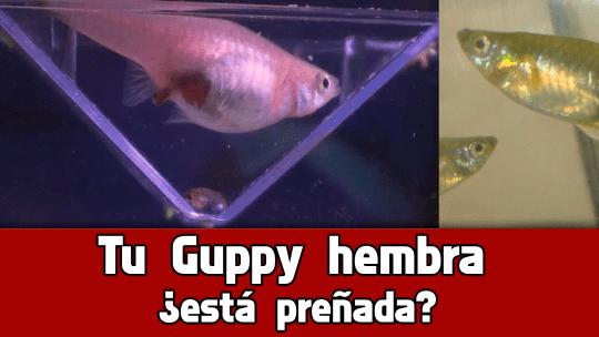 Como saber si una hembra Guppy esta embarazada.