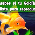 ¿sabes si tu Goldfish está lista para reproducirse?