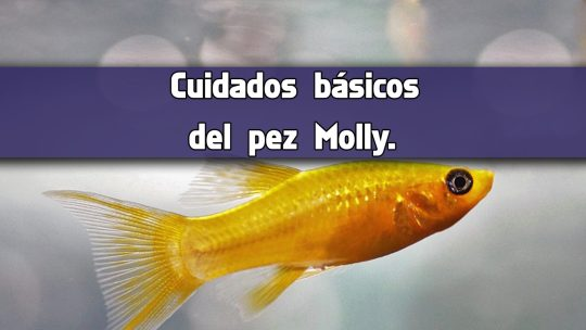Cuidados básicos del pez Molly.