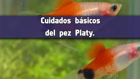 Cuidados básicos del pez Platy.