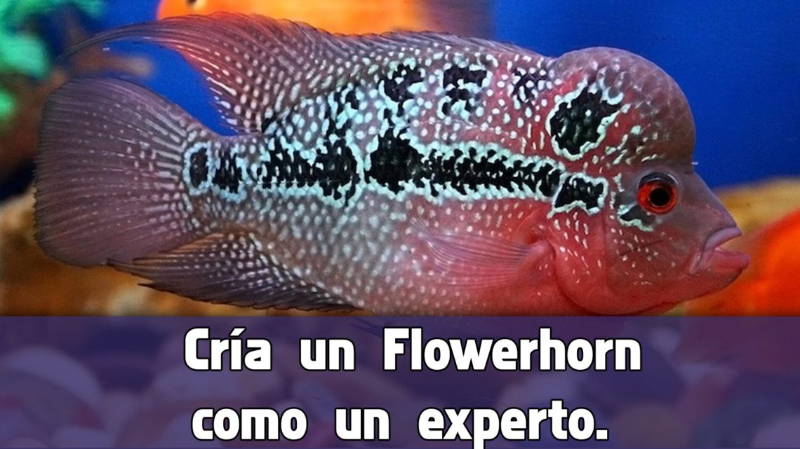 Cuidados del Pez cuerno de flores o Flower Horn.