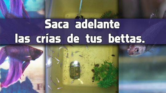 Así se reproduce en casa el pez Betta