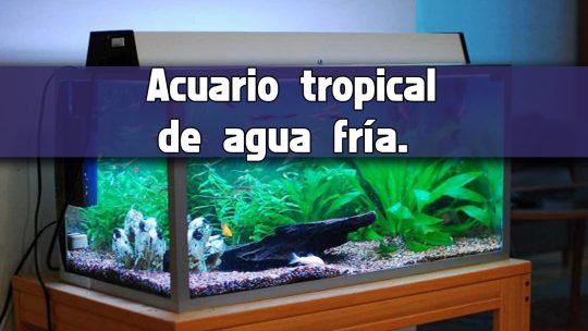 Peces que no requieren calentador en el acuario.