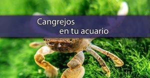 Cangrejos de agua dulce para acuarios