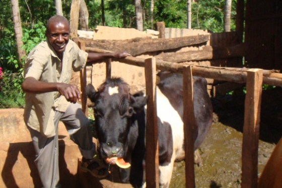 Juhudi Kilimo watermelon cow