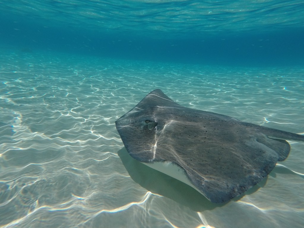 Visit Stingray City Cayman Islands | THings to do in the Grand Cayman | Swim with Stingrays | Mandy Carter travel writer | Acupful.com family travel blog | Caymans attractions | Red Sail Sports tour to Rum Point and Stingray City