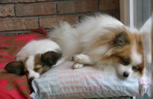 枕の上でスヤスヤ寝ている2匹のパピヨン