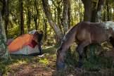 Zelte abbrechen: Bevor die Pferde – wie hier bei Manciano in der südlichen Toskana – für den nächsten Tagesritt gesattelt werden, muss jeder Teilnehmer sein Zelt und Gepäck für den Weitertransport zusammenpacken.