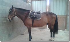 cheval au bout de deux ans de travail