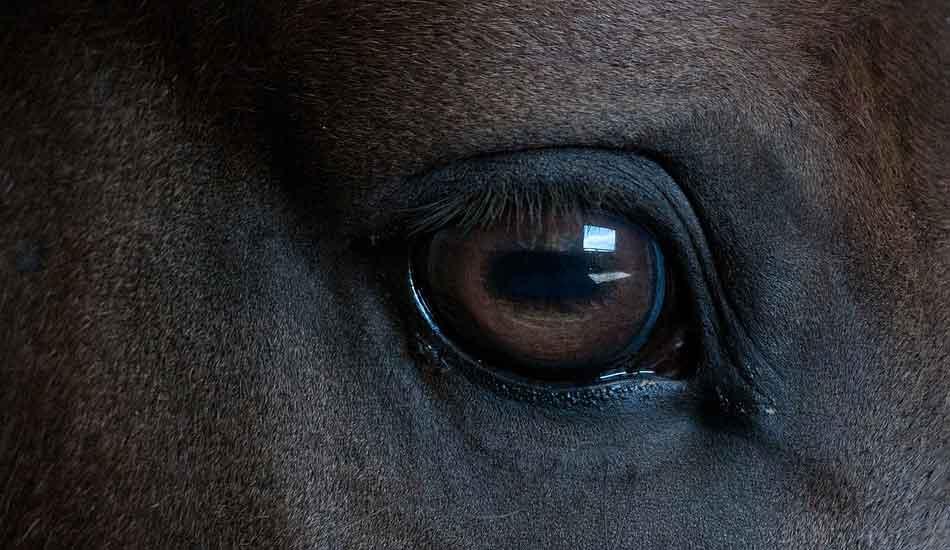oeil cheval