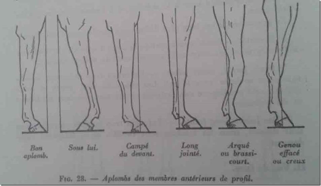aplombs-cheval-anterieurs-profil