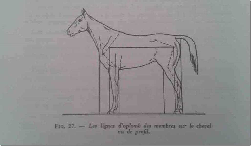 aplombs-cheval-ok-profil