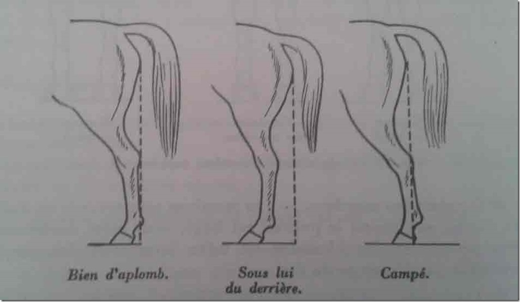 aplombs-cheval-posterieurs-profil