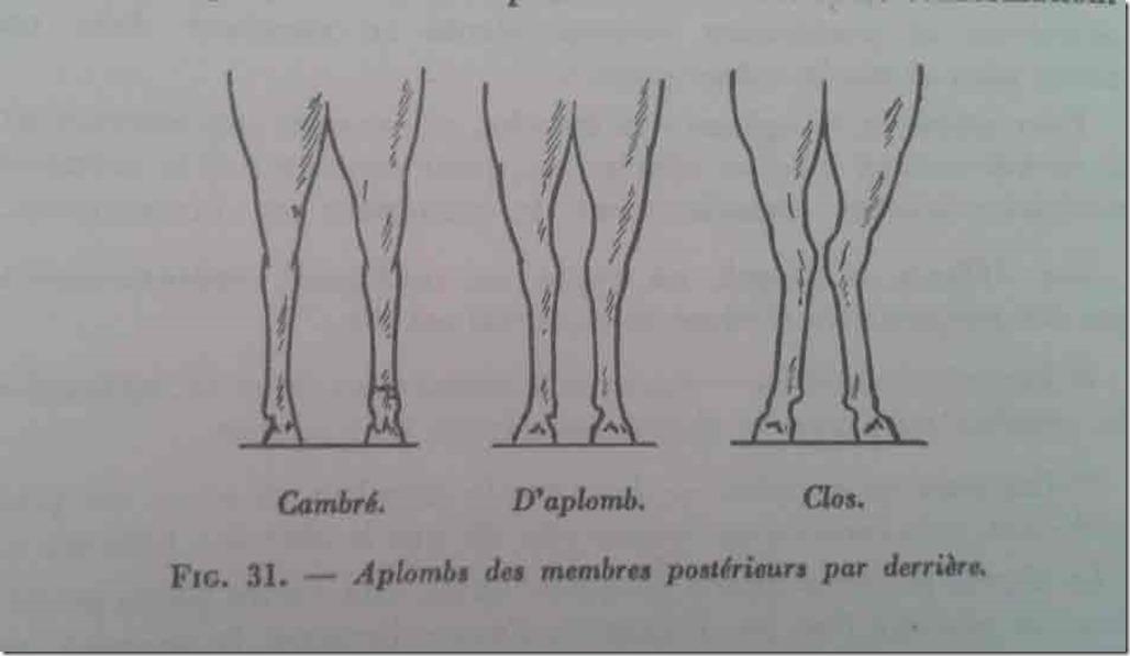 aplombs-cheval-posterieurs-vue-derriere