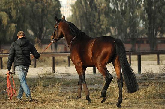 Commencer l'échauffement du cheval par un travail à pied A dada mon dadou
