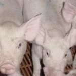 livestock flooring nursery
