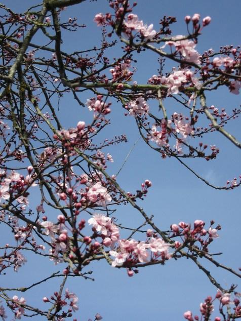 mar-cherry-blossom