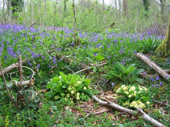 A coppiced section of woodland in spring