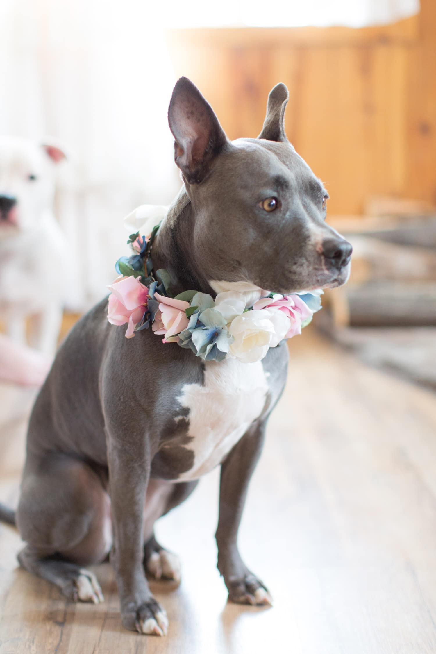 Pitbull with flower collar