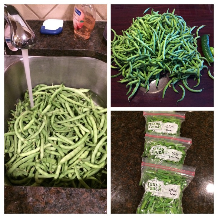 00 - our  bean harvest