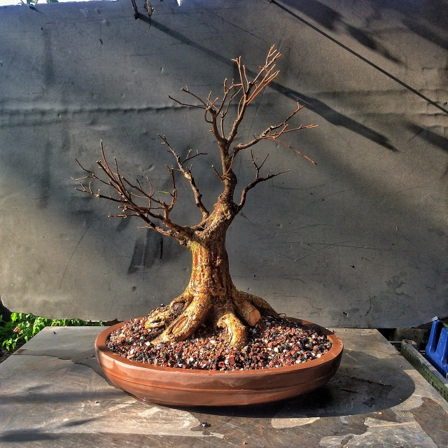 Clump Style Willow Leaf Fig From A Sawn Off Root Ball