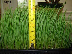 Wheatgrass - 13