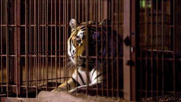 TIGER im Käfig, also ein TIGERKÄFIG
