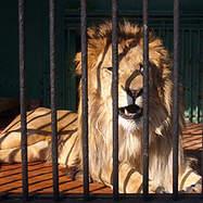Löwe im Löwenkäfig