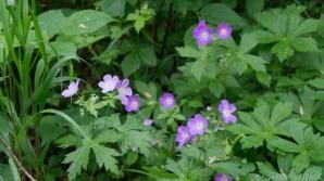 Mirror Lake State Park - Pink/purple wildflowers on the Northwest Trail