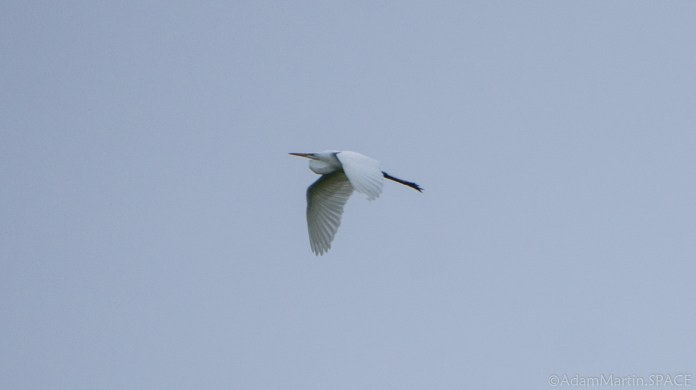 Richard Bong State Recreation Area - Great Egret in flight