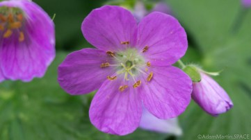 Richard Bong State Recreation Area - Wild Geranium wildflowers