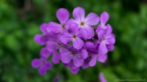 Quarry Lake - Invasive species Dame's rocket (Hesperis matronalis)