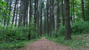 Kohler-Andrae State Park - Tall pines on the Marsh Trail