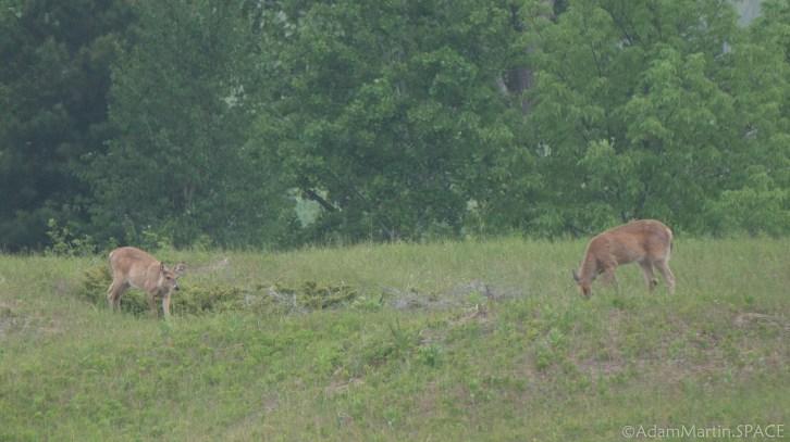 Kohler-Andrae State Park - Deer feeding from the Cordwalk south section