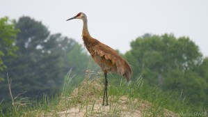 Kohler-Andrae State Park - Sandhill Crane on Cordwalk south section