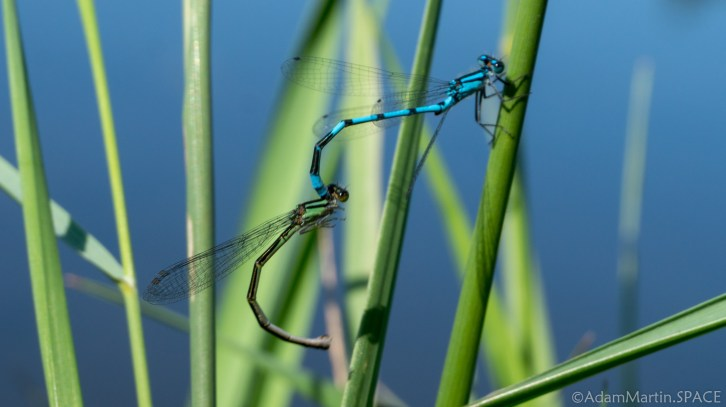 Straight Lake State Park - Damselfly mating