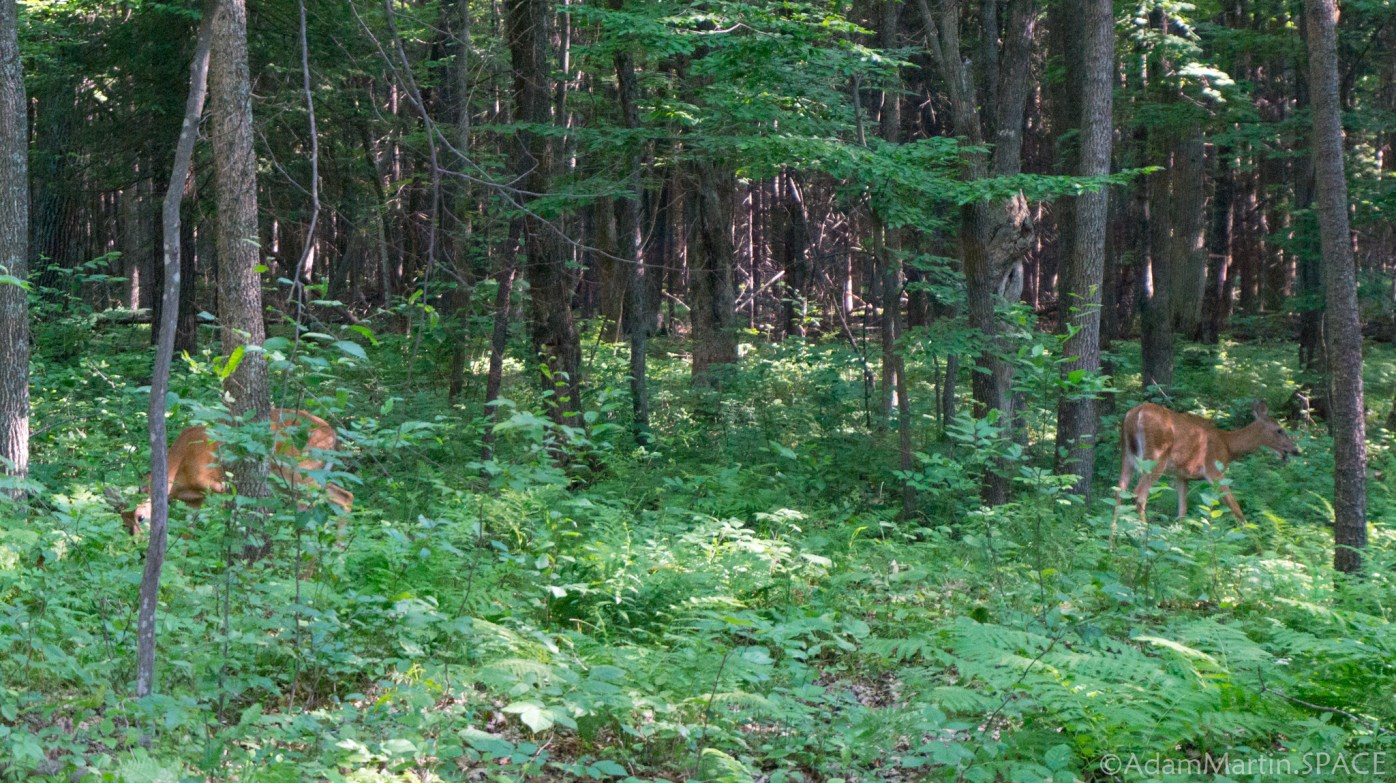 Council Grounds State Park - Whitetail deer browsing behind campsite