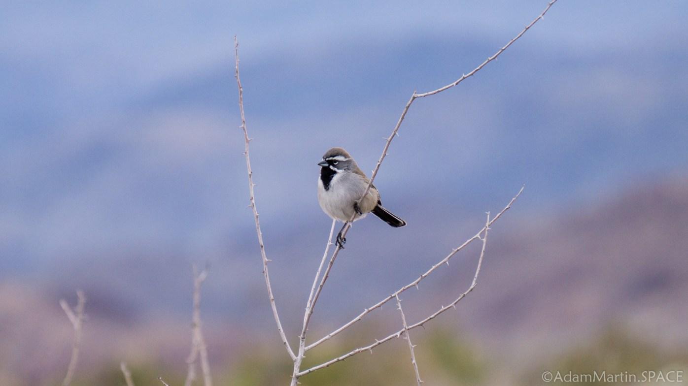 Joshua Tree - Birds on Arch Rock Nature Trail