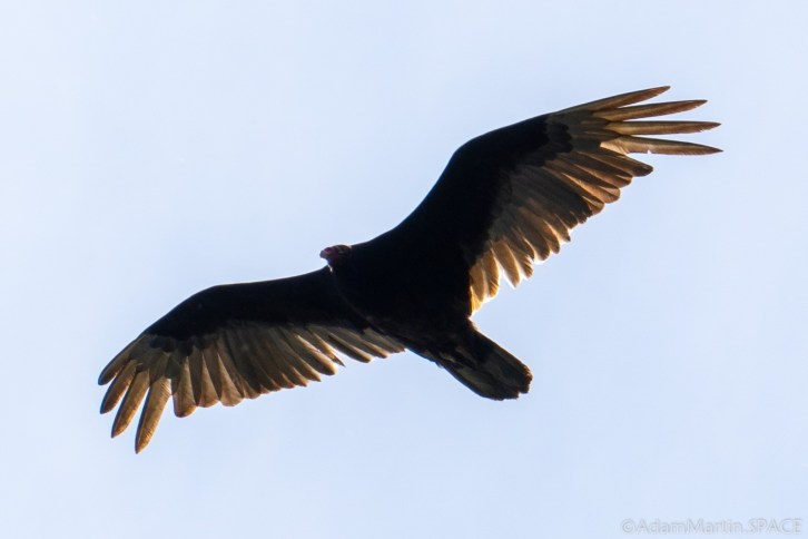 Ferry Bluff State Natural Area - Turkey Vulture