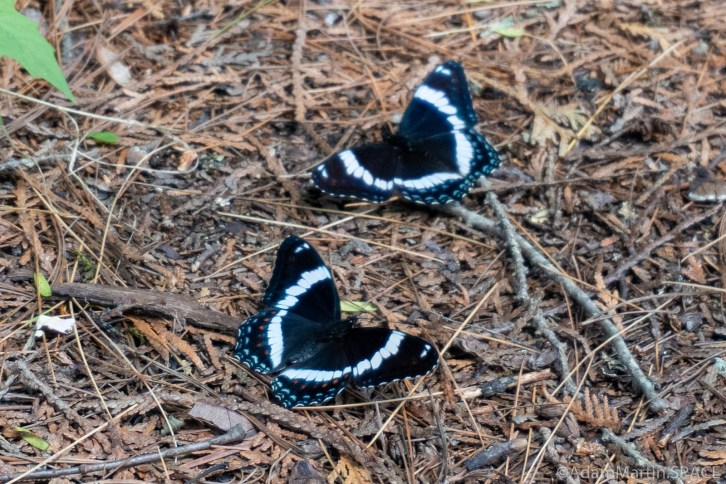 Big Smokey Falls - White Admiral butterflies