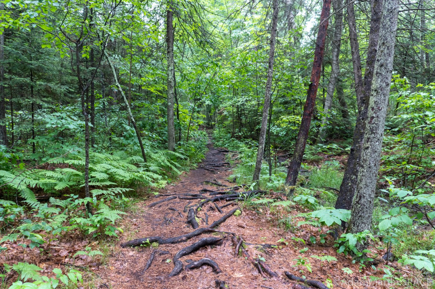 Horseshoe Falls - Trail covered in tree roots