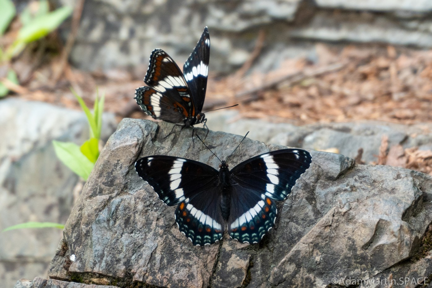 Long Slide Falls - White Admiral butterflies