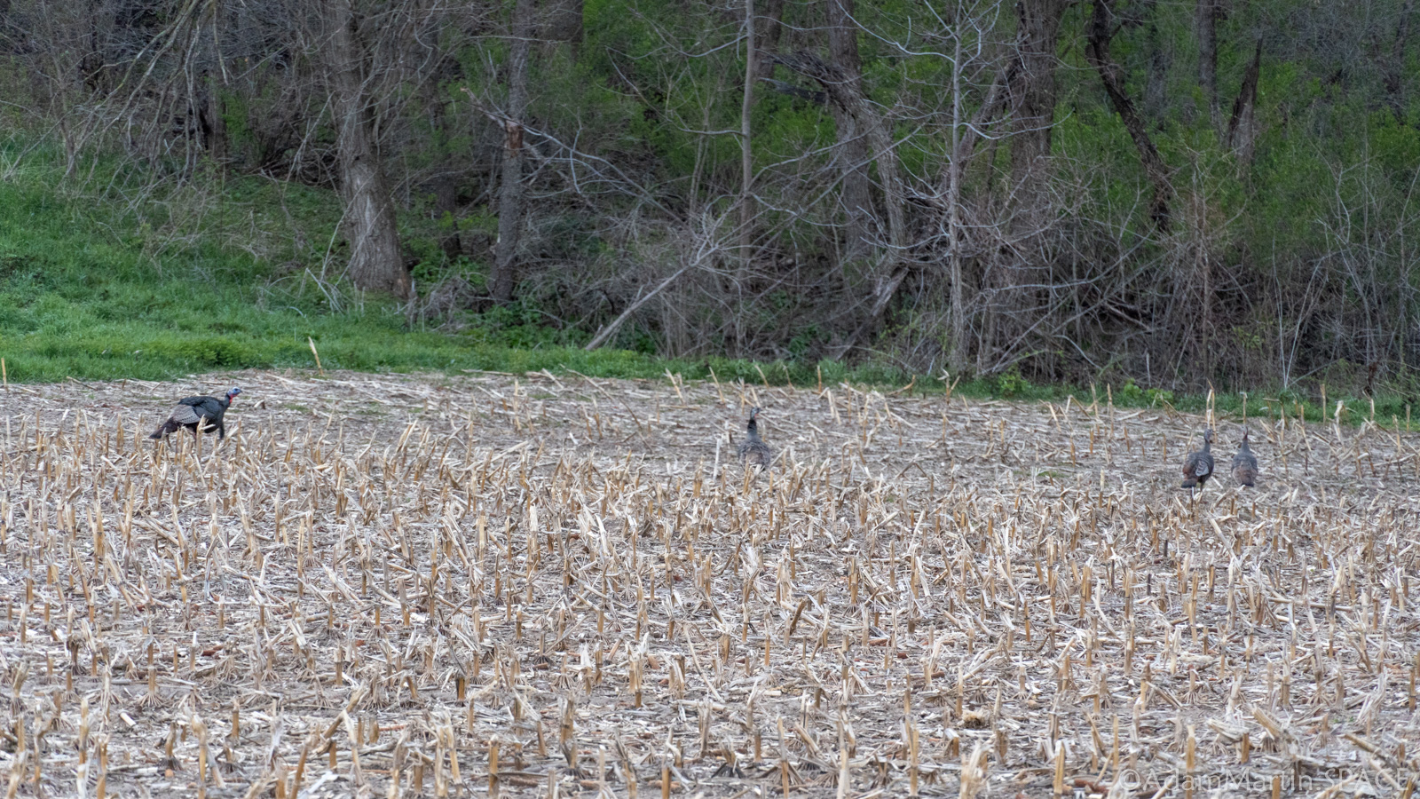 Turkeys on a private farm area while road scouting