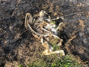 Deer carcass in the Yellowstone Wildlife Area after prescribed burn
