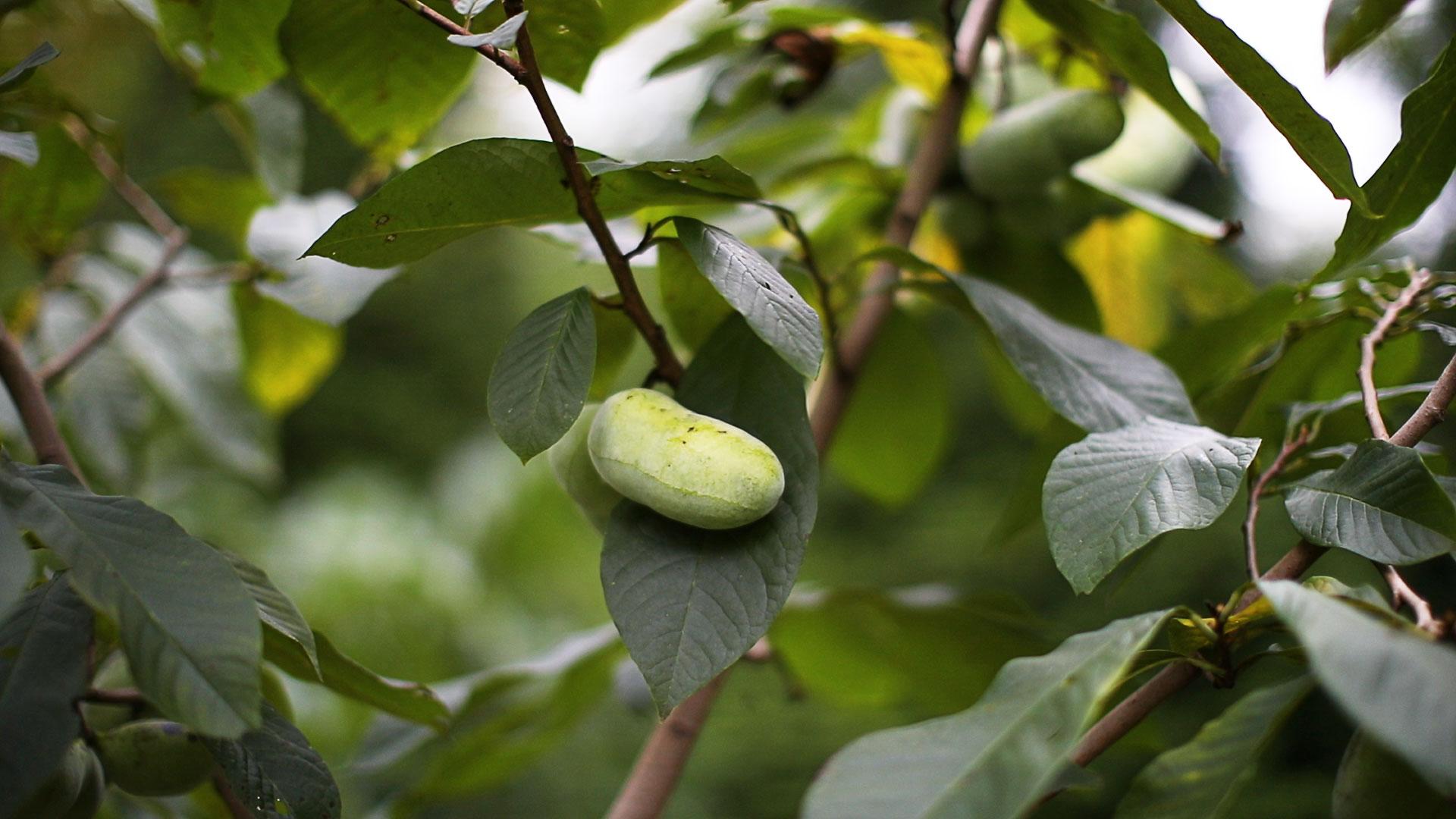 A Pawpaw Fruit on a Pawpaw Tree