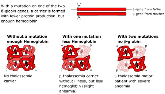 beta thalassaemia