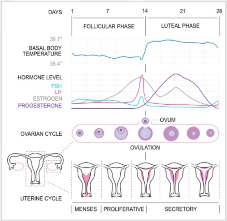 Female Monthly cycle and hormone fluctuations