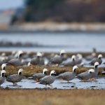 Emperor geese. (Photo: Milo Burcham, ADF&G)